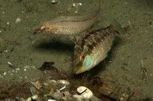 nidi pesci