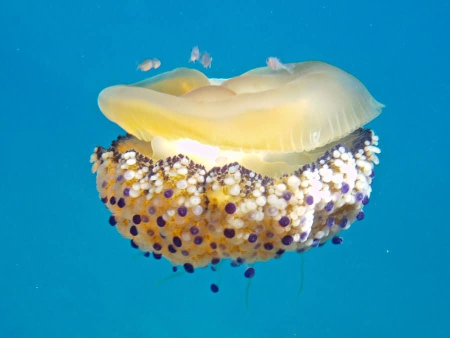 COTYLORHIZA una delle meduse più comuni nel Mediterraneo