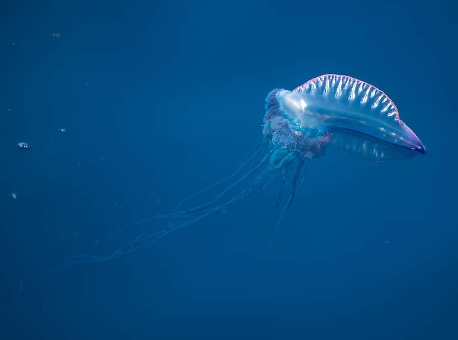 PHYSALIA tra le meduse più pericolose che possiamo incontrare nel mar Mediterraneo